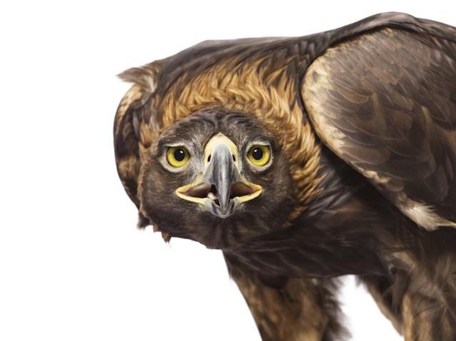 Golden Eagle by Andrew Zuckerman
