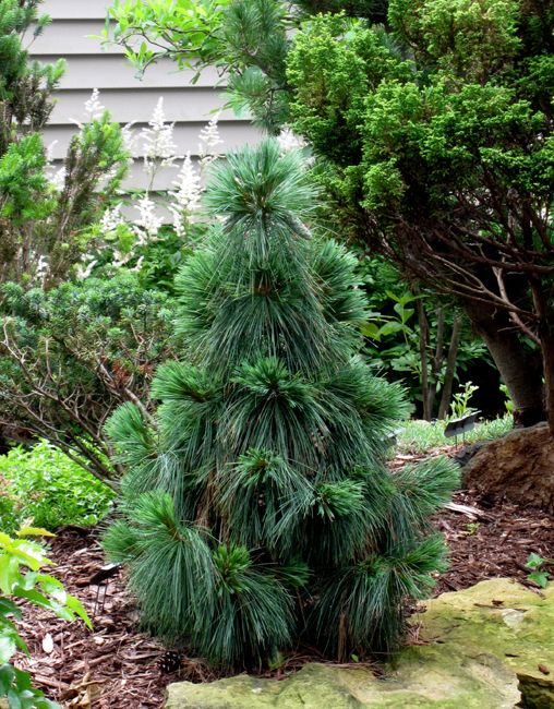 Pinus schwerinii Wiethorst :: www.evergreen-gar... A hybrid of Pinus strobus and Pinus wallichiana. Discovered as a witches broom from Pinus x schwerinii. A very eye-catching plant with long drooping needles. Produces long, drooping cones at a young age. Rare! 10 years: 6' tall x 3-4 wide 25w