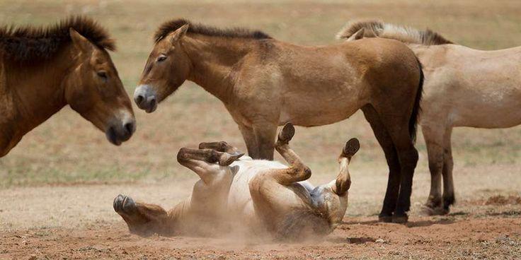 Przewalski's Horse - Monarto Zoo