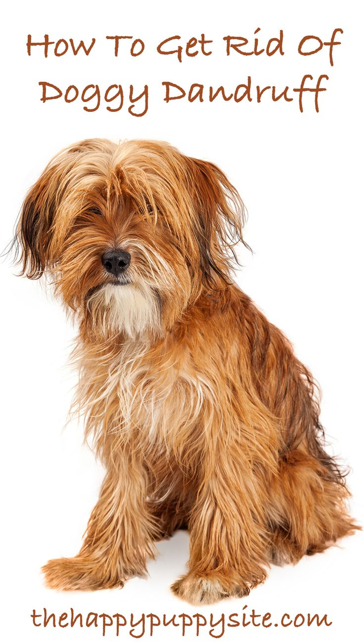 How To Get Rid Of Dandruff On Cocker Spaniel Dogs