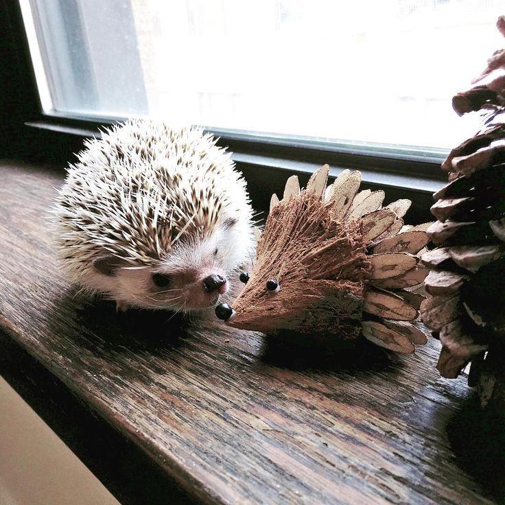 "tinyterror406: "" Making a new friend #hedgehog #おはぎちゃん #PhillipTheHedgehog…"