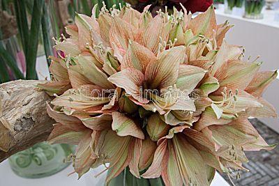 Image result for amaryllis mocca