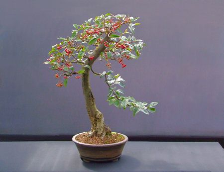 Cotoneaster bonsai shrub