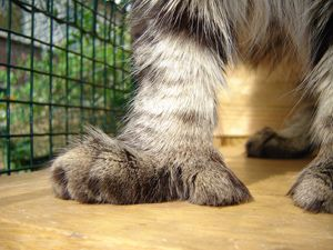 #MaineCoon #Poly #Polydactyl #Cats