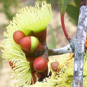 Eucalyptus desmondensis grows in height to 1.45m and has smooth, whitish bark that makes a contrast to the deep creamy-yellow flowers and when in bud, to the deep red of the bud caps or operculums. Its soil preferences include stony loam or sand, clay, granitic soils, rocky hillsides and sandplains, all of which can be found in the Ravensthorpe Range area of the Esperance botanical region of south-western Australia.