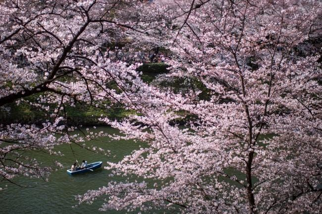 The Best Places To Enjoy Cherry Blossom Season In Tokyo Cherry Blossom Season Cherry Blossom Tokyo
