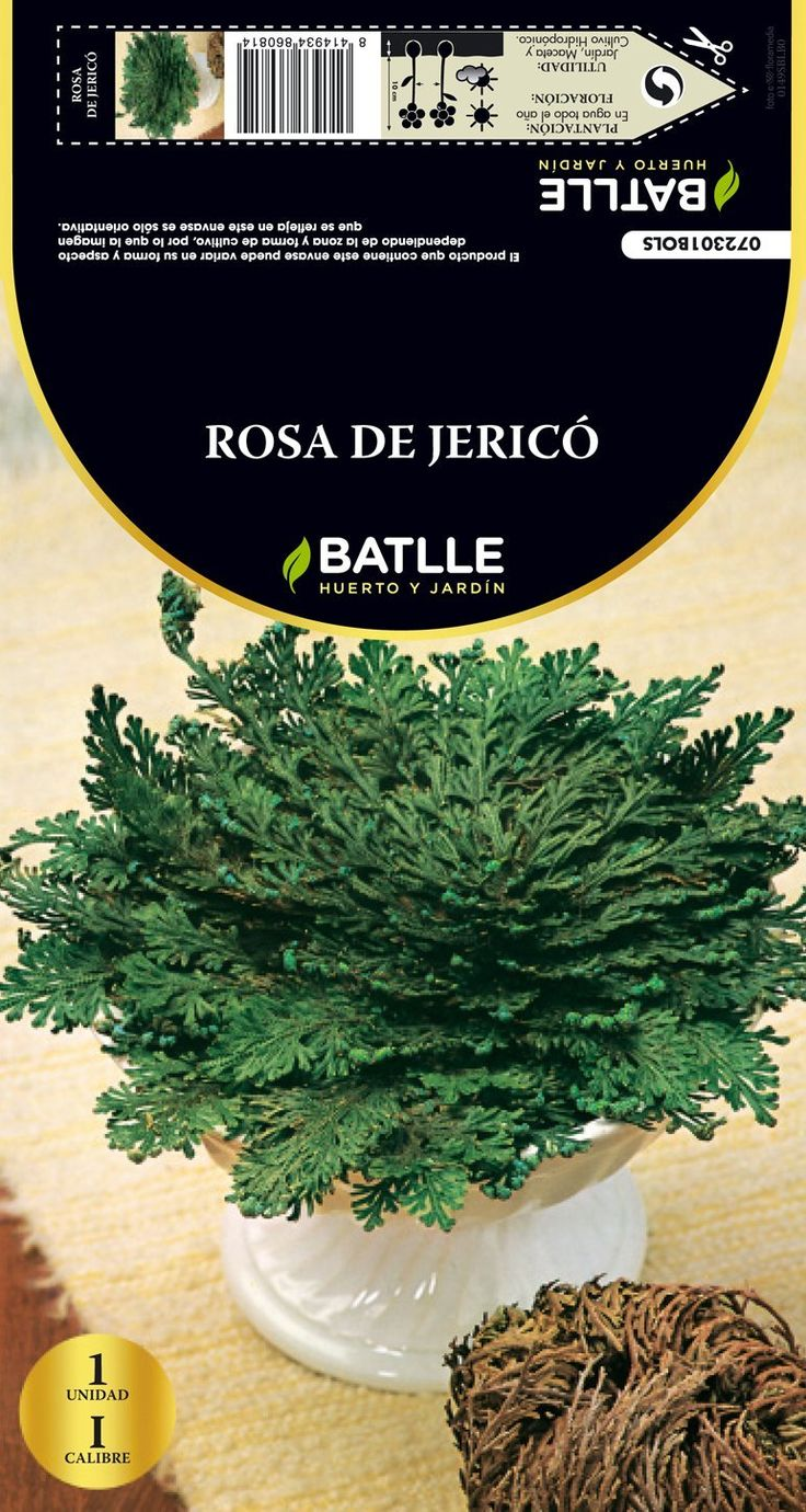 Bulbo de Rosa de Jericó. Puedes conseguirlo en http://magia.esoterik-a.com/producto/bulbo-rosa-jerico/