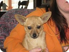 Salem, NH - Pomeranian/Chihuahua Mix. Meet The Fabulous Miss Ashleigh, a dog for adoption. http://www.adoptapet.com/pet/8710770-salem-new-hampshire-pomeranian-mix
