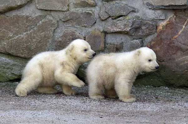 Your morning adorable: Polar bear cubs explore the outdoors for the first time at Ouwehands Zoo