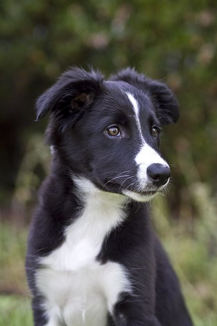 baby border collie....guessing - 32.8KB