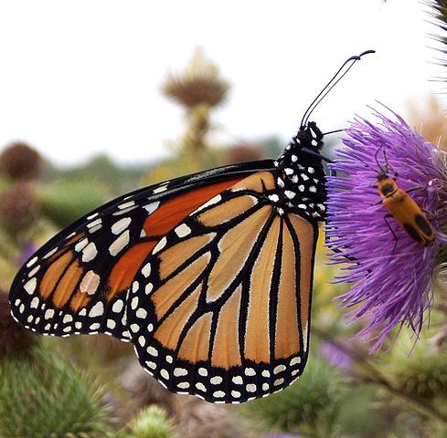 Monarch Butterflies Why are they disappearing from our ecosystem?