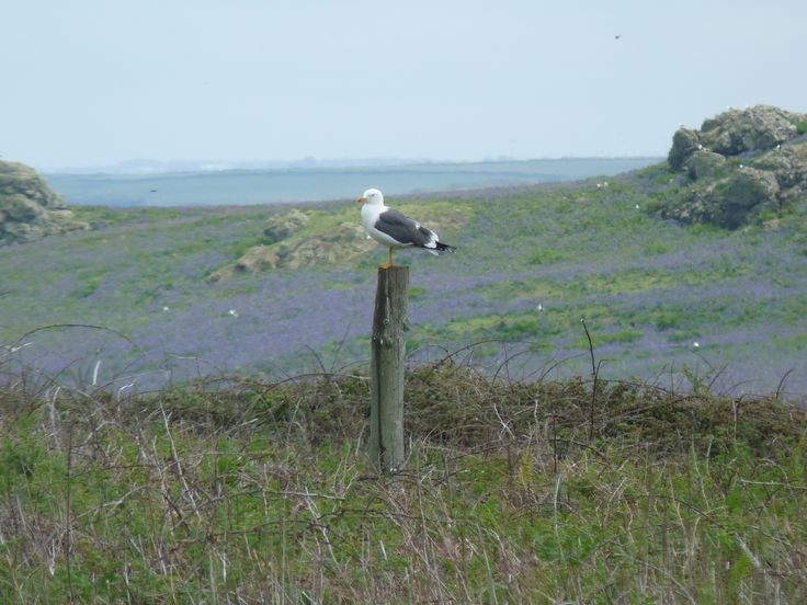 The gulls stand sentinel waiting for manx shearwater to return in the evening so they can gobble them up
