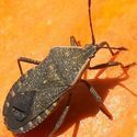 How to control squash bugs // from the Old Farmer's Almanac