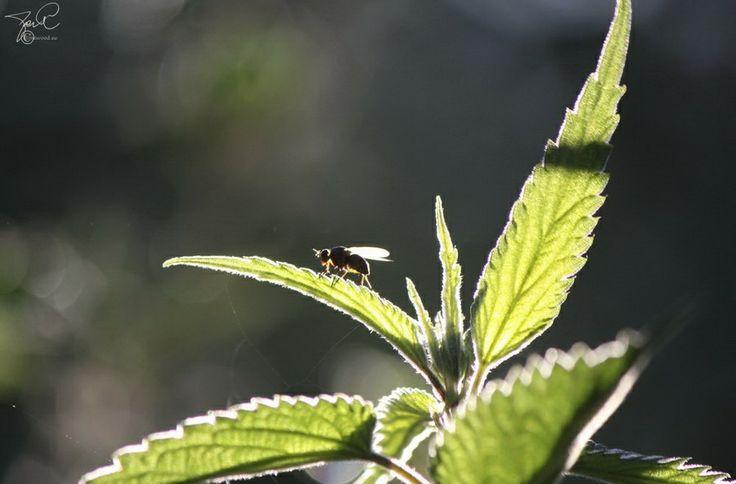Morning bug on stinging nettle