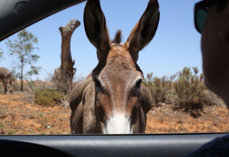 Silverton NSW Australia Friendly donkey