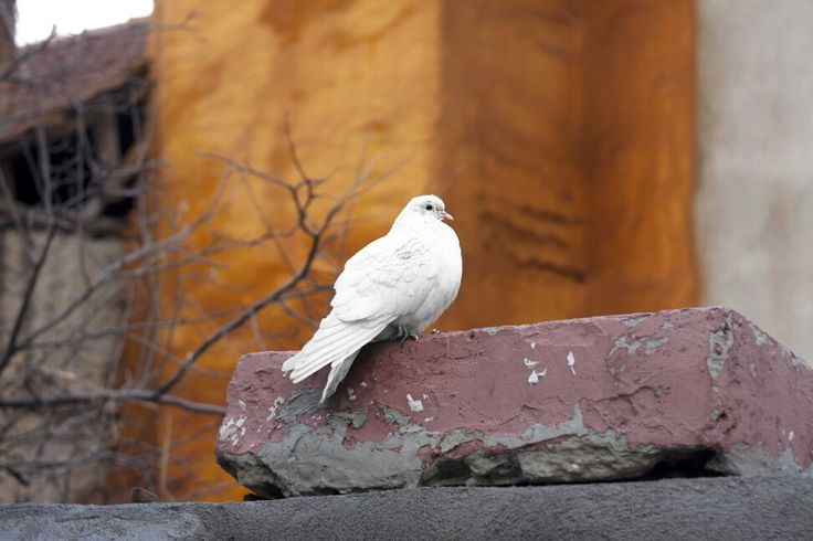 #white #brid #beyaz#kuş #barış