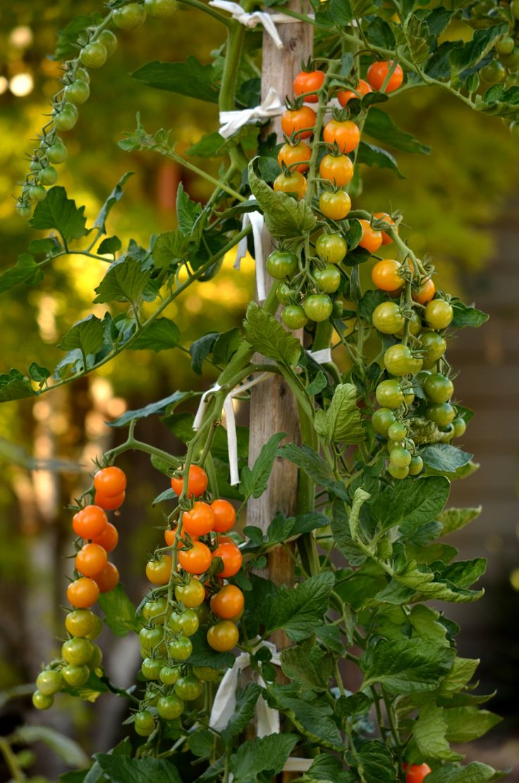 One of our sungold tomato plants - it's now over six feet tall.