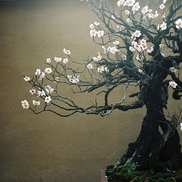 Ume (Japanese apricot) I love the dark, espresso colored bark of ume; delicate branches dance for the viewer, entertaining from all angles