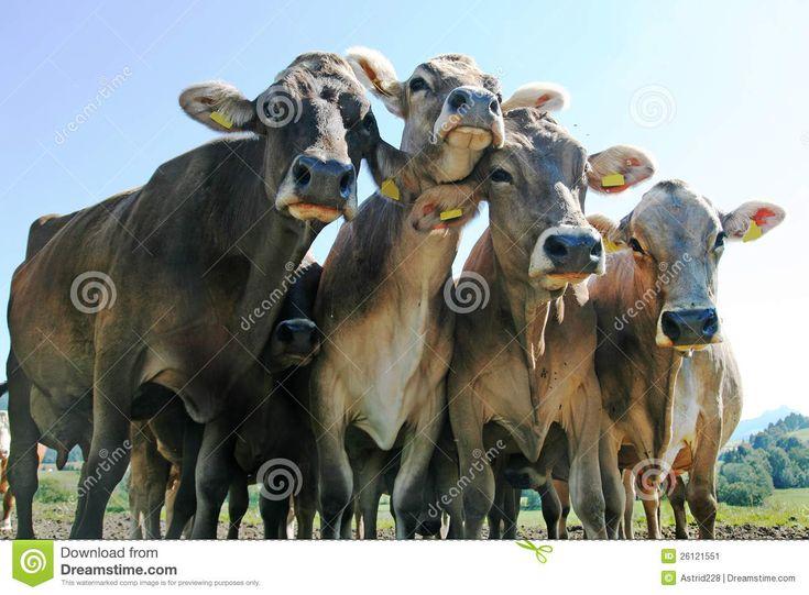 Vacas Bonitas Imagen de archivo - Imagen: 26121551