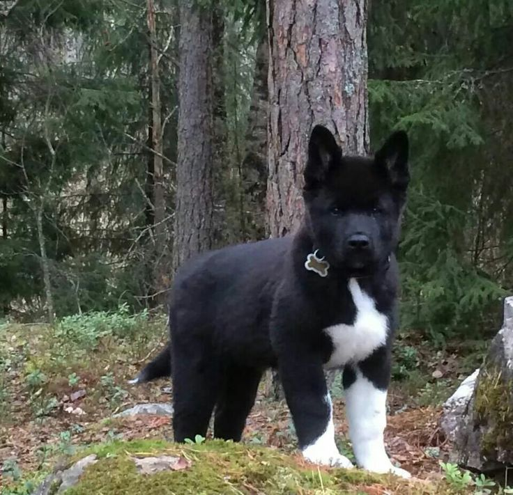 17 Best images about akita breed on Pinterest | Puppys ...