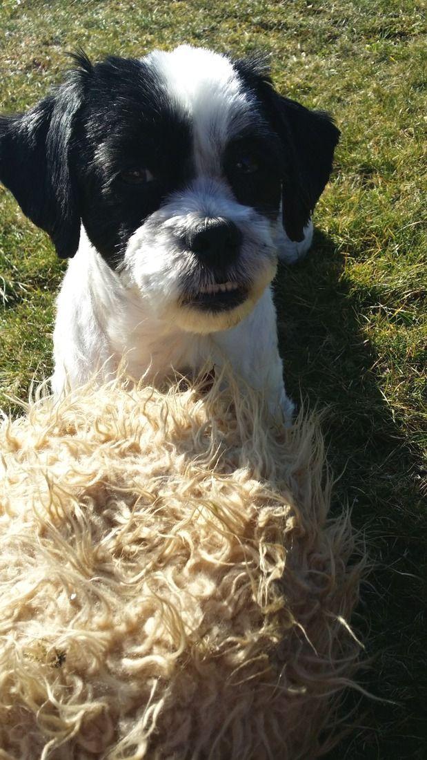 Shih Tzu Malteser Mix Bossy Bossy wünscht euch einen guten Wochenanfang! ☀ #Hund: Bossy / #Rasse: Shih Tzu Malteser Mix      Mehr Fotos: https://magazin.dogs-2-love.com/foto/shih-tzu-malteser-mix-bossy/ Foto, Frühling, Hund, Sonne