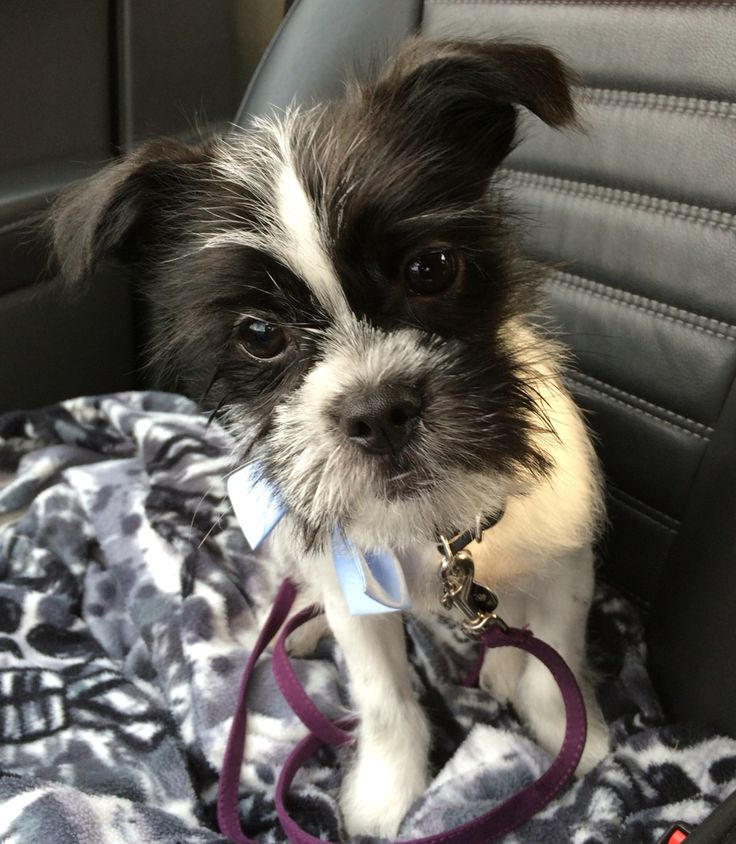 My 5month old puppy finn is a chihuahuashih tzu mix he
