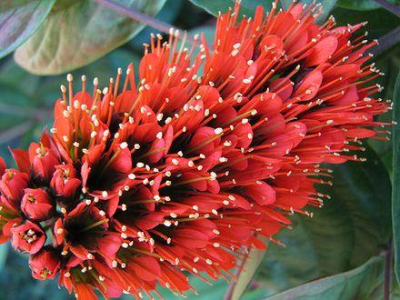 Escova-de-Macaco     É uma planta trepadeira lenhosa, vigorosa, muito florífera, originária de Madagascar e Ilhas Mauricio, de ramagem ...