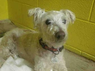 Upper Marlboro, MD - Poodle (Toy or Tea Cup). Meet RALPHY a Dog for Adoption.