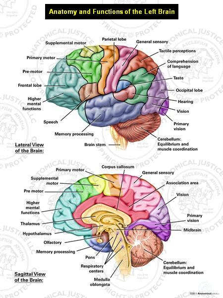 This exhibit depicts the normal lateral and sagittal anatomy of the left-brain. Color coding is utilized to highlight the functional responsibilities of each area of the brain.