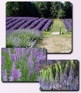 Sacred Mountain Lavender ~ visited this place, lot's of beautiful lavender to look at. It's on Salt Spring Island, BC very pretty area.