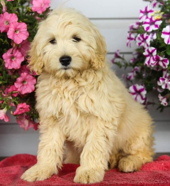 Cora - Cockapoo Puppy for Sale in Reedsville, PA | Lancaster Puppies