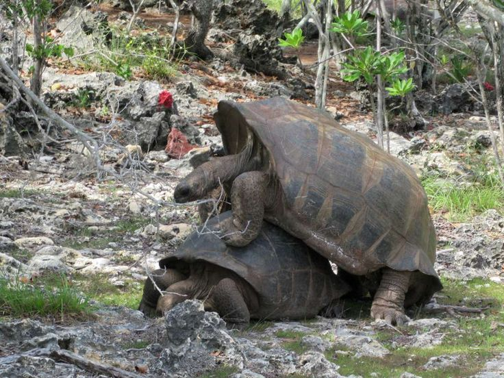 Giant tortoises mating on Picard Island, Aldabra Atoll, Seychelles. Their lifespan is over 200 years.