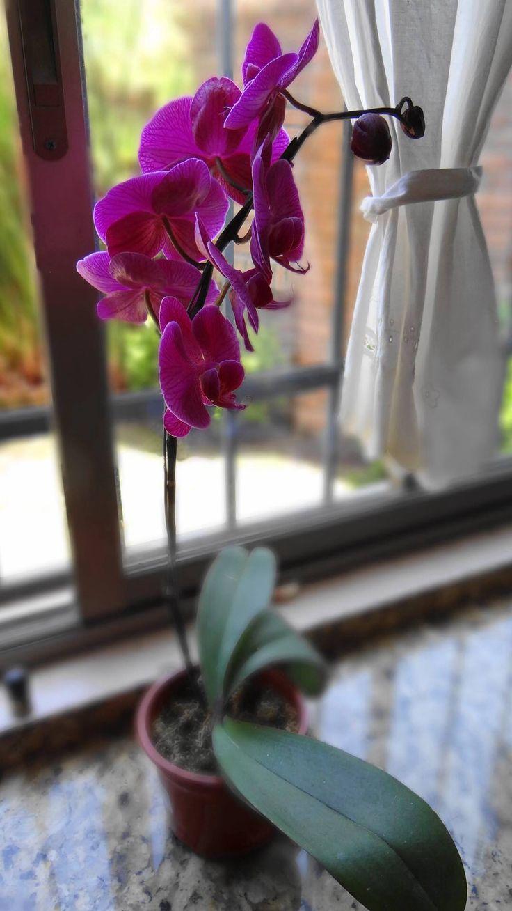 Mi hermosa Orquídea...