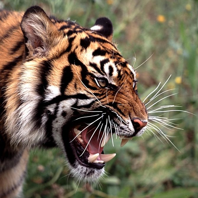 roaring tiger face - Google Search