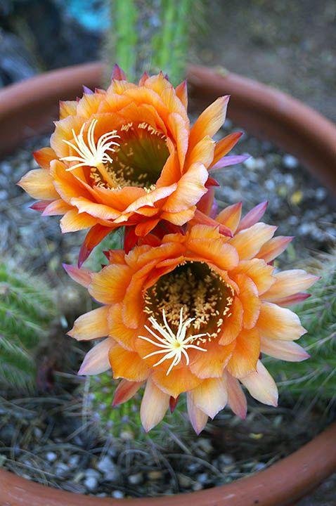 Today's beautiful cactus blooms! #NationalHistoricDistrict #DeGrazia #Artist #Ettore #Ted #GalleryInTheSun #ArtGallery #Gallery #Adobe #Architecture #Tucson #Arizona #AZ #Catalinas #Desert #Cactus #Flores #Flowers #teddegrazia #galleryinthesun #degrazia