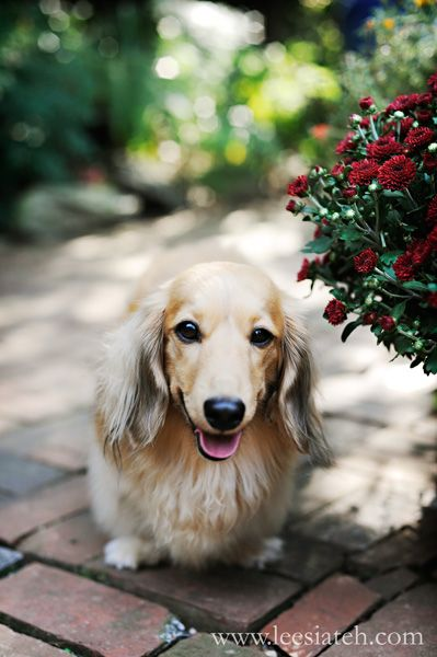 long haired blonde doxie