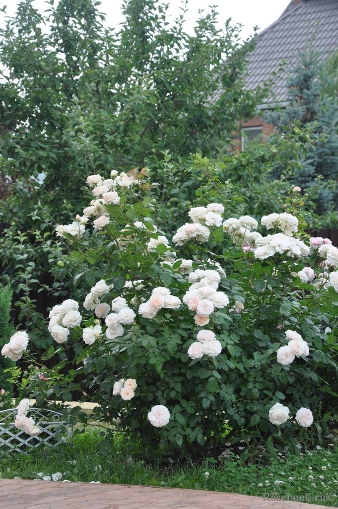 вариант роза меньян пьер ардити фото отчаивается, сегодня она