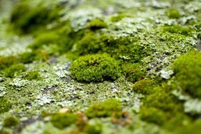 ❧ How to Get Moss to Grow on Rocks, Bricks or Pots --- Moss Making Recipe: * 2 cups buttermilk or plain yogurt. * 1 - 1 1/2 cups of chopped-up moss (Fresh or Dried). Mix until creamy and spreadable. If the mixture is too thick, add a small amount of water. If it's too thin, add more moss. Paint the mixture onto the new surface. You can allow the mixture to sit for a day or two, to start the process. You may get mold first, but by about week 6 you should see signs of moss.