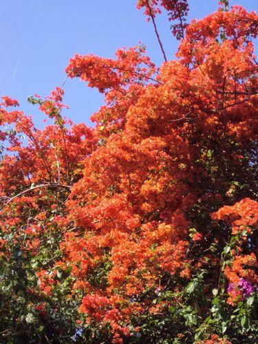 """BOUGAINVILLE - UMA ORNAMENTAL BRASILEIRA QUE FLORESCE NO INVERNO : [b]Bougainvillea[/b] Bougainvillea é um gênero botânico da família Nyctaginaceae, de espécies geralmente designadas como buganvílias. Nativas da América do Sul, essas angiospermas recebem vários nomes populares como """"Primavera"""", """"Três Marias"""" e """"Flor-de-papel"""". [b]Origem e aspectos gerais[/b] De origem brasileira é uma espécie rústica, muito cultivada e apreciada no mundo, especialmente no Estado Catarinense. O nome da planta…"""