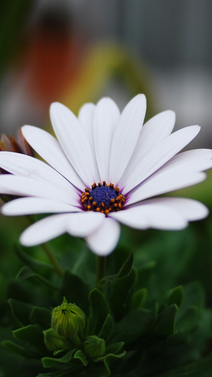 Portrait, daisy flower, blur, leaves, 720x1280 wallpaper