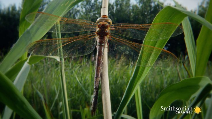 A dragonfly larva emerges from the water with four distinctive lumps on its back. These lumps will turn into the most powerful wings in the insect kingdom. Watch the transformation unfold before your eyes.