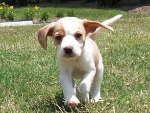 how to train a beagle to listen