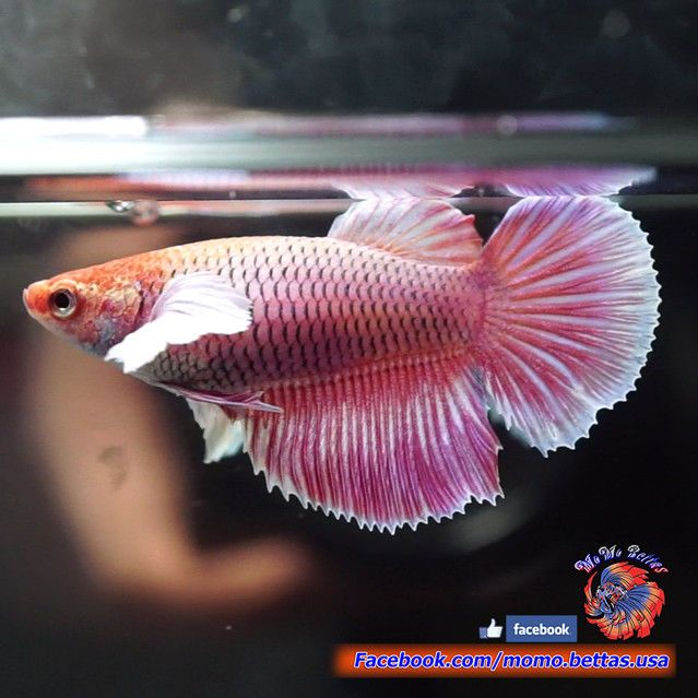 Live Betta Fish Female Pink Orchid Dumbo Halfmoon Hm 3493 Betta Fish Betta Pink Orchids