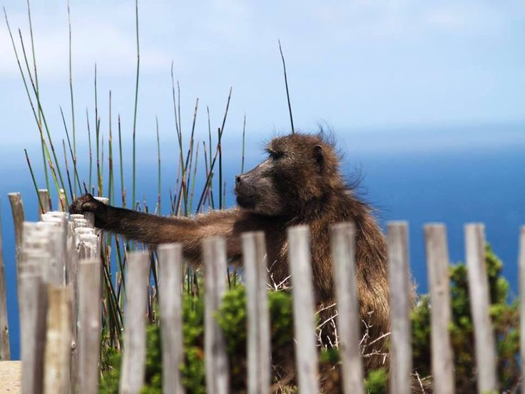 Baboon checking out the view.  #EpicEnabled
