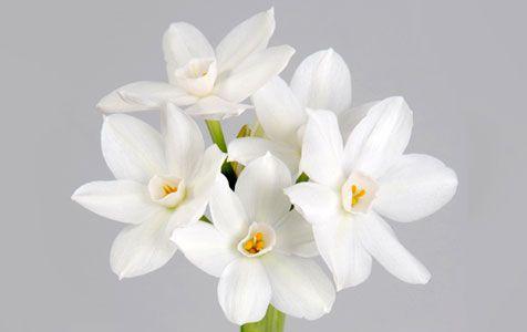 Narciso | Cooperflora