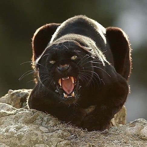 Ecclesiastes 3:11; Revelation 4:11; Black leopard; Photo by @serhat_demiroglu_photography