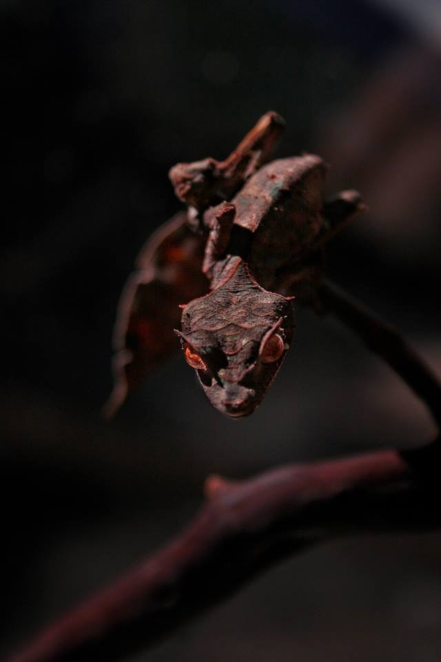 Satanic Leaf-Tailed Gecko Maybe dragons are real, but do not come in the size or shapes that we dream of.