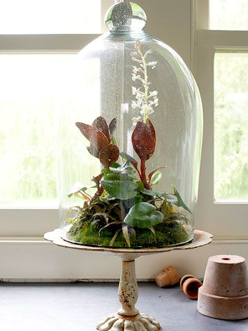 A cloche over a cake stand makes a fashionable ad hoc terrarium.  -- Lay half an inch of aquarium gravel on the cake stand for drainage.  -- Sprinkle with fine charcoal, then top with a light, moist, peat-based packaged potting soil.  -- Set a jewel orchid, arrow-leaf ferns, and 'Chocolate Stars' cryptanthus inside.  -- Cover with cloche, brushing away any remaining gravel off the cake stand.
