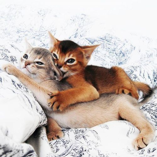 best images, pictures and photos ideas about abyssinian kitten - most affectionate cat breeds