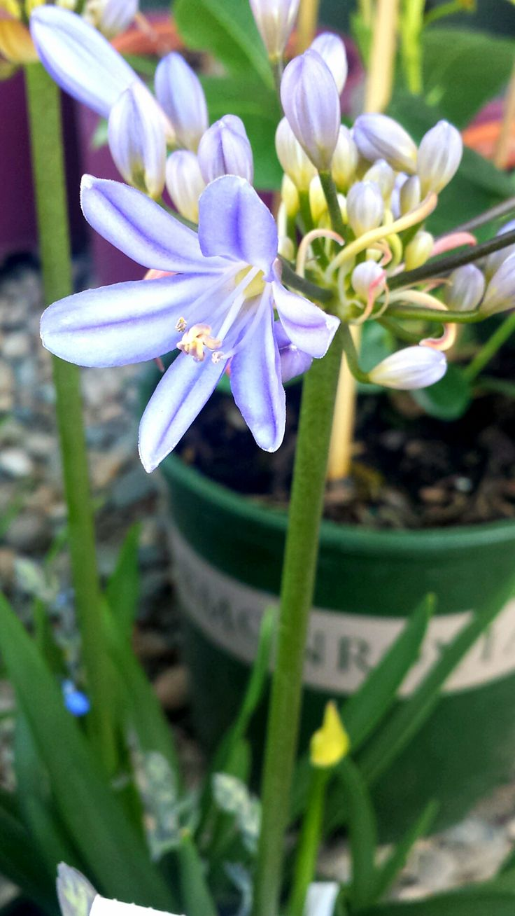 120 best agapanthus images on pinterest blue flowers plants and baby pete lily of the nile this unique variety blooms weeks earlier than others izmirmasajfo Images